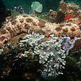 Leopard Sea Cucumber