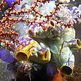 Big Tunicates