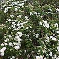 Bridal Veil Spirea shrub