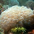 White Bubble Coral