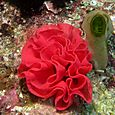 Red Ribbon Rosette of Spanish Dancer Eggs