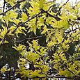 Sunburst Locust Tree
