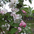 Prairie Spy Apple Blossoms