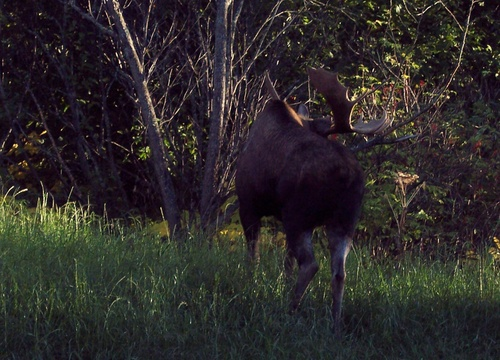 Moose in Kincaid Park