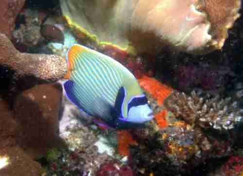 Regal Angelfish