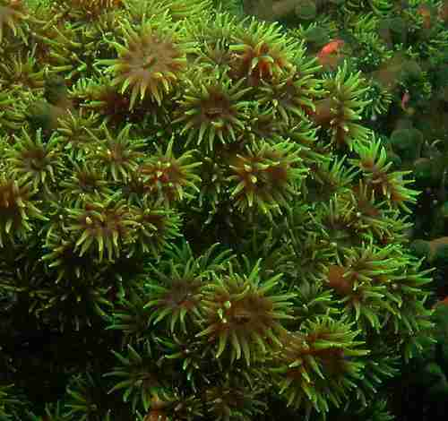 Green Soft Coral