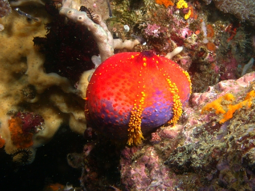 Sea Apple