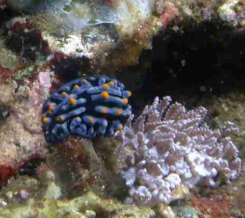 Yellow Horned Nudibranch