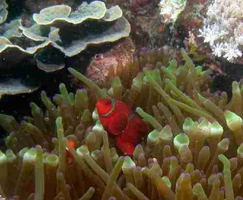 Spine Cheeked Anemone Fish