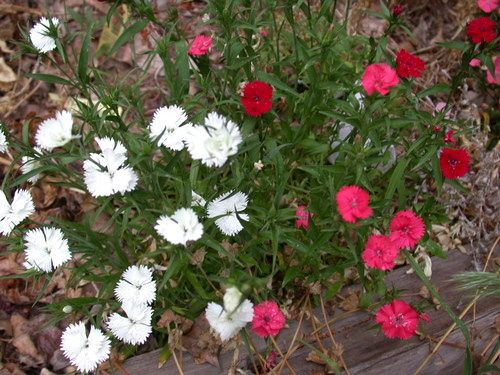 Mixed Colors Dianthus