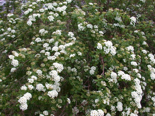 Bridal Veil Spirea shrub