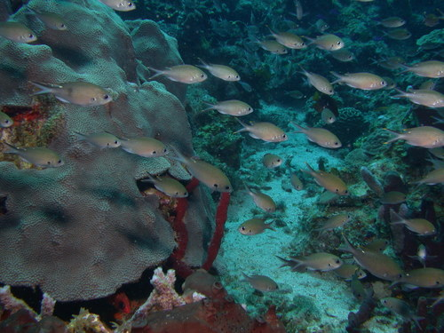 School_of_brown_chromis