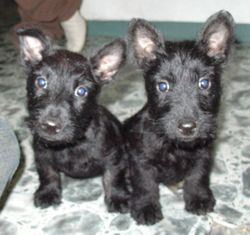 Imageterrierpuppies_2